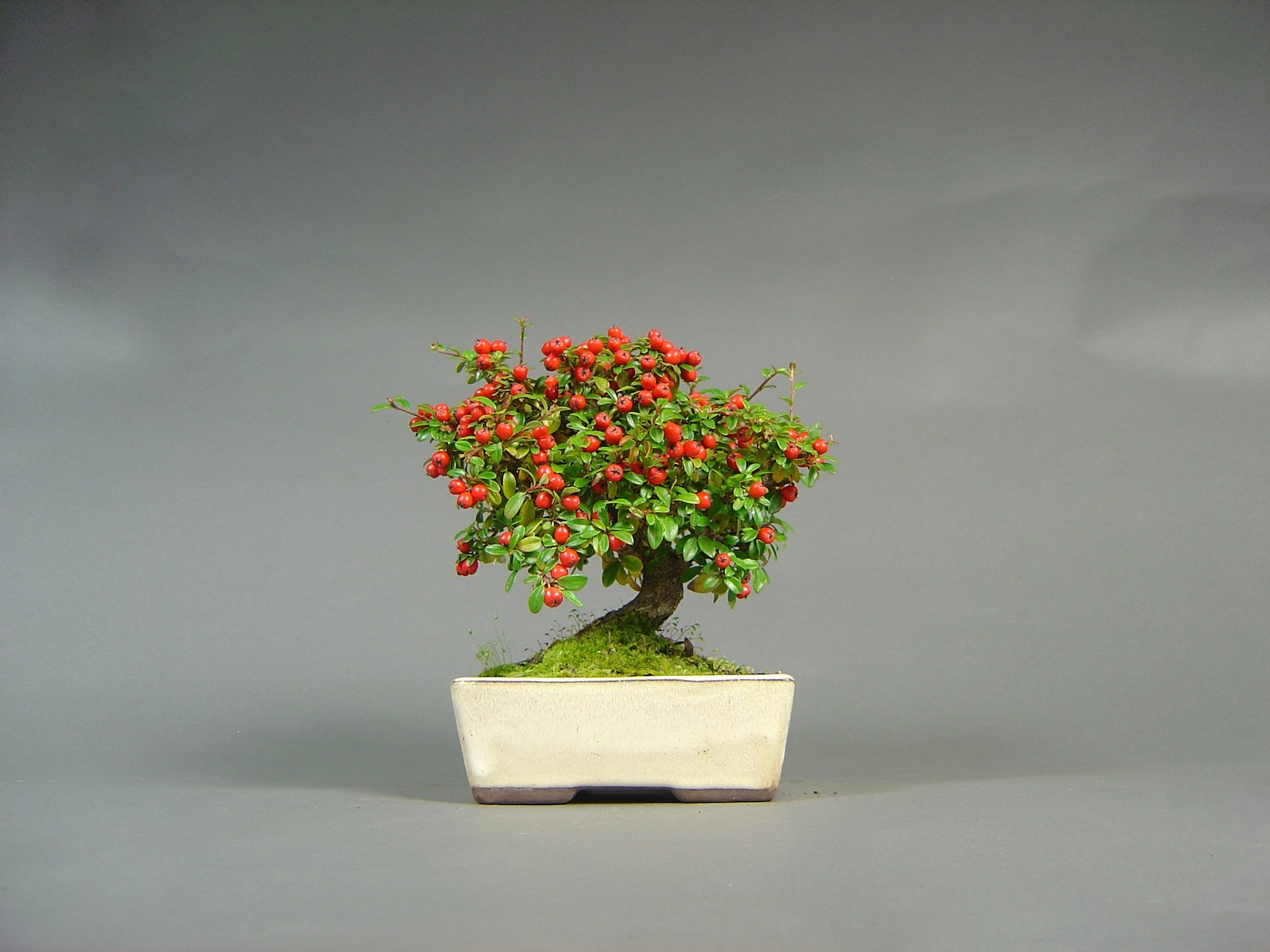 Zwergmispel, Cotoneaster