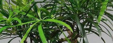 Nadeln einer Steineibe, Podocarpus macrophyllus