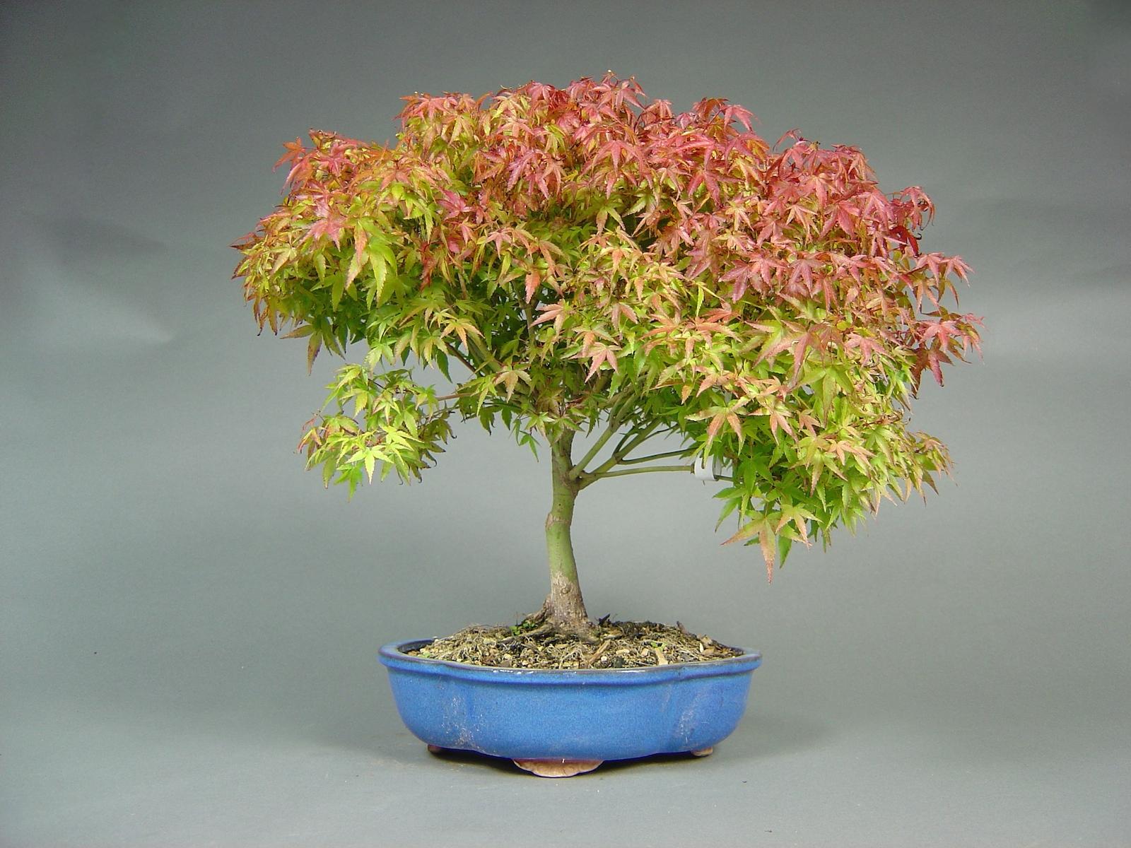 Fächerahorn, Acer palmatum ´kiyohime´