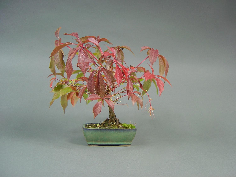Jungfernrebe, Parthenocissus quinquefolia