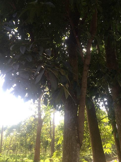 マホガニー 木 無垢フローリング アンドウッド