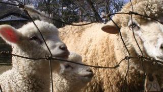 めえめえ牧場 羊 2016年2月