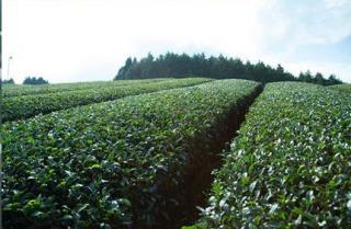 ほうじ茶 茶の木