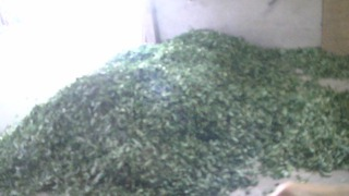 茶の収穫 お茶の葉