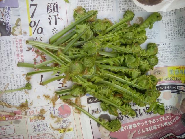 収穫した山菜こごみ