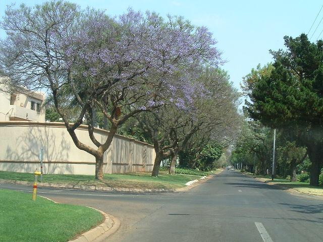 南アフリカ|アフリカの桜ジャカランダの花は紫色