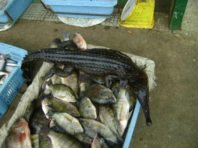 ガボン|オゴエ川で魚と一緒に捕れたワニ
