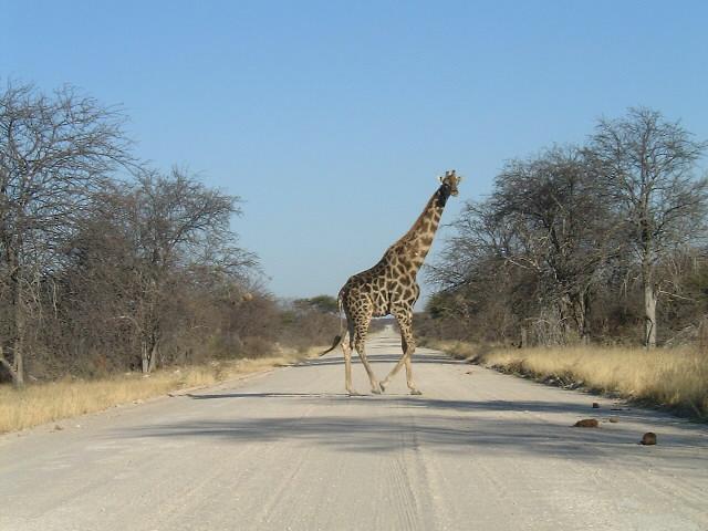 ナミビア| 国立公園で道路に飛び出したキリン