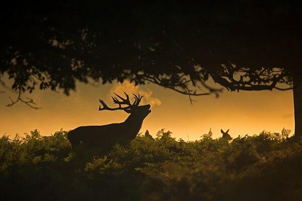 Herten slaan in Orleans bos