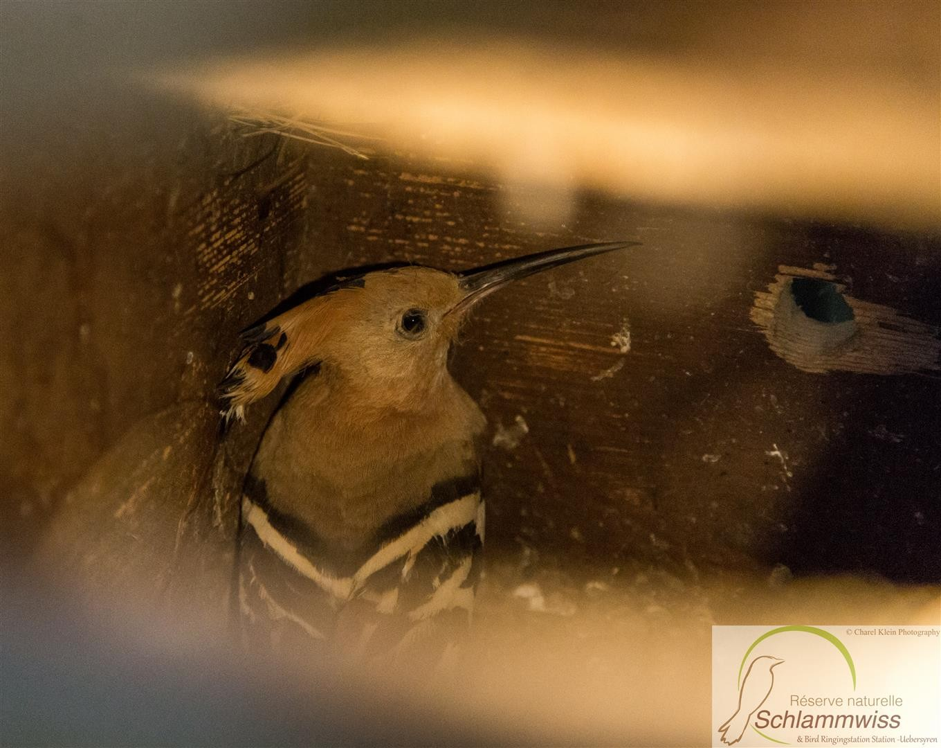 female hoopoe in the woodbox (no flash)