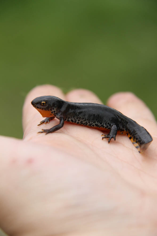 Bergmolch ( Ichthyosaura alpestris) / Alpine newt