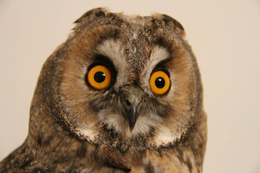 Long-eared owl ( Asio otus) / Waldohreule