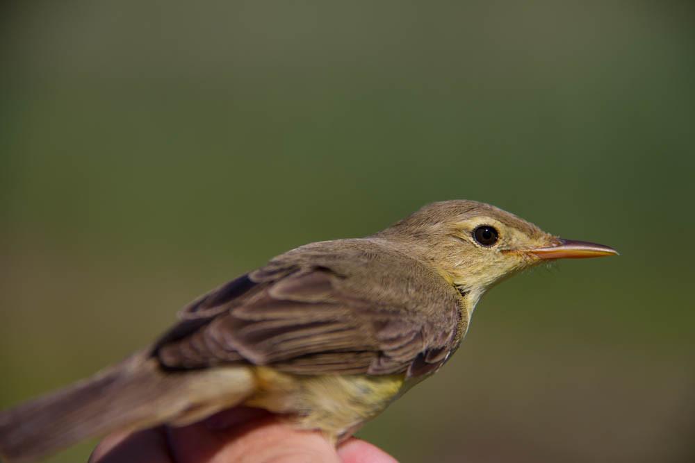 Melodious Warbler ( Hippolais polyglotta) / Orpheusspöttter
