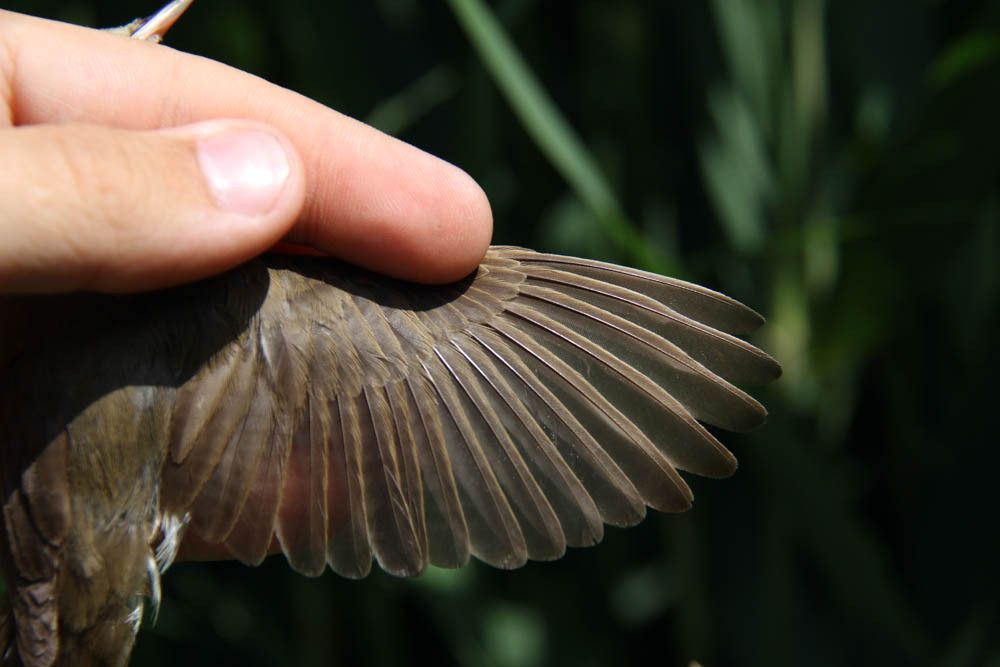 wing formula of the Blyth's Reed Warbler ( Acrocephalus dumetorum) / Buschrohrsänger