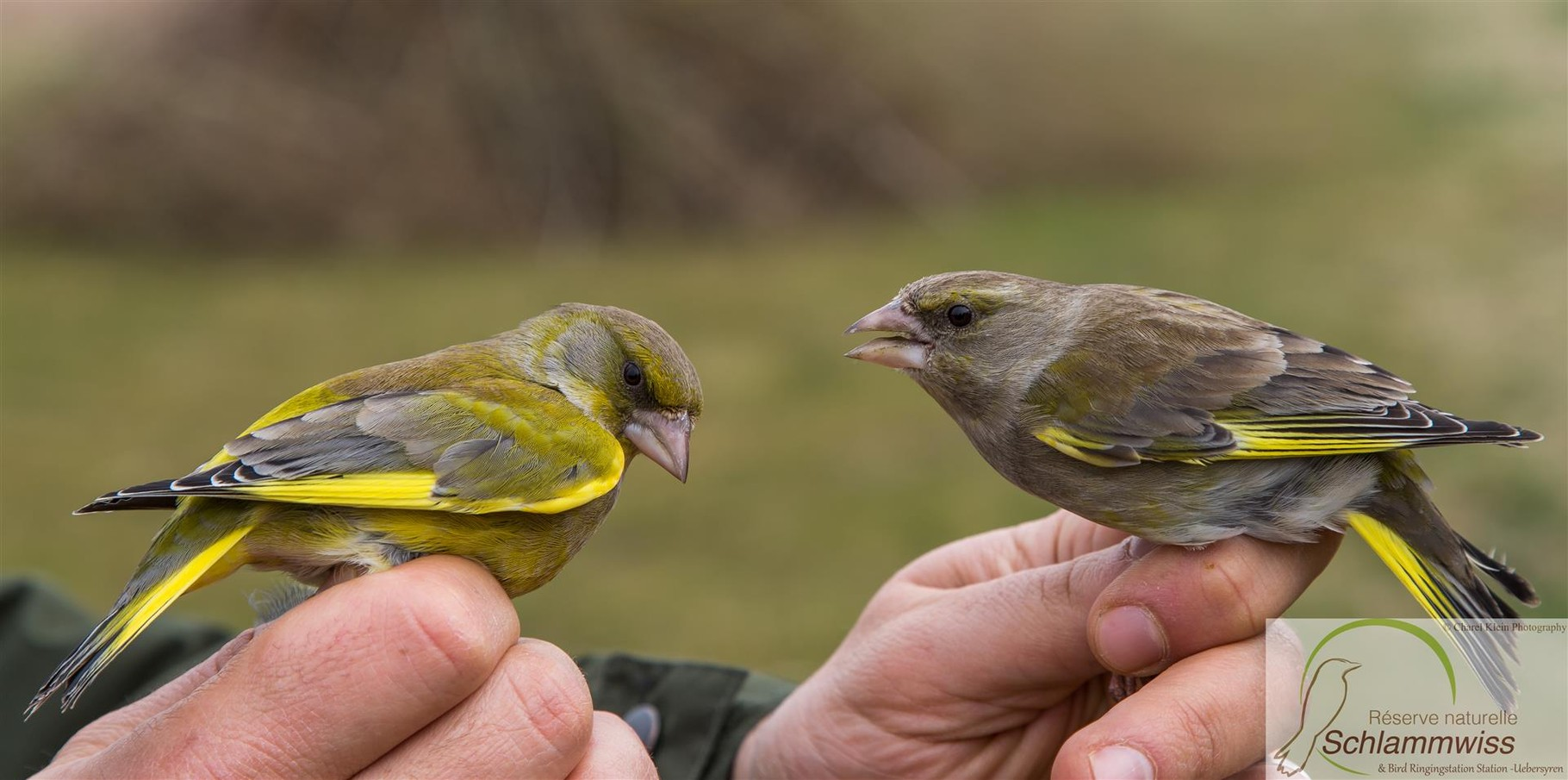 24.03 - Carduelis chloris male & female