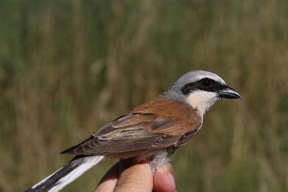 Red-backed shrike ( Lanius collurio) / Neuntoter