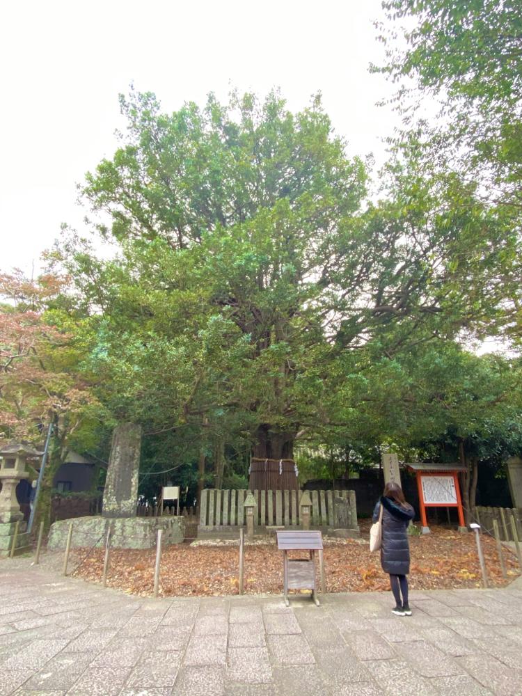 御神木 梛木