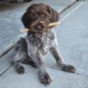 Wirehaired Pointing Griffions