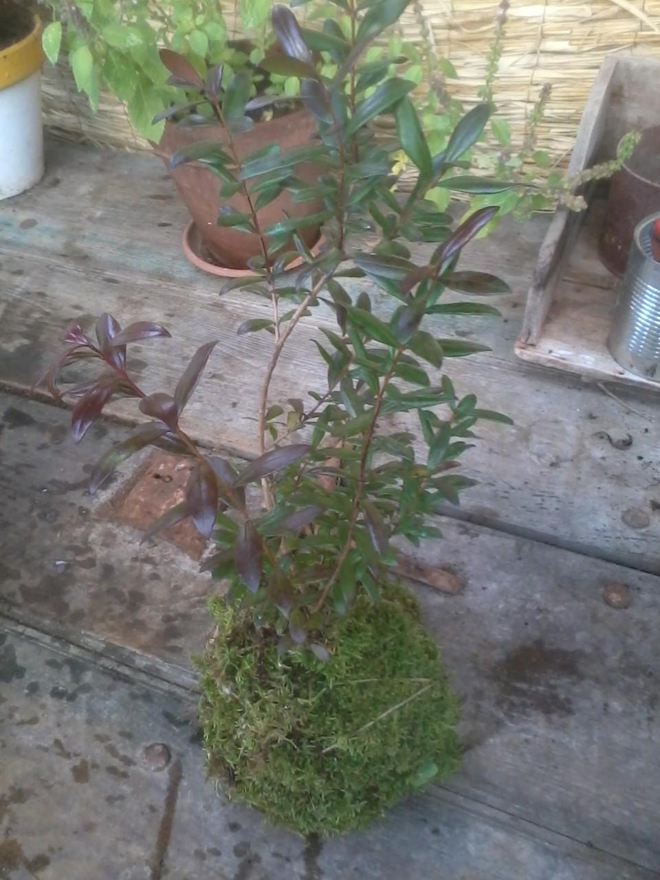 Kokedama Mirto (Myrtus communis)