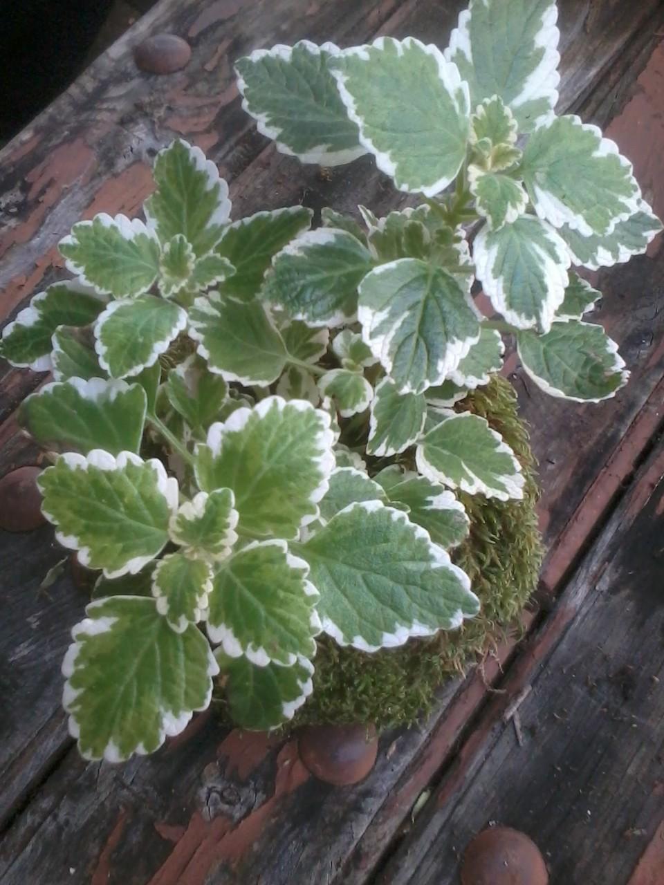 Kokedama Planta del Incienso (Plectranthus coleoides) 4,95 €