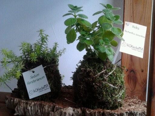 Kokedama Vicks (Plectranthus tomentosa) 4,95 €