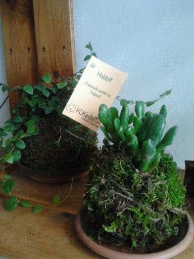 """Kokedama Hobbit (Crassula ovata c.v. """"Hobbit"""") 4,95 €"""