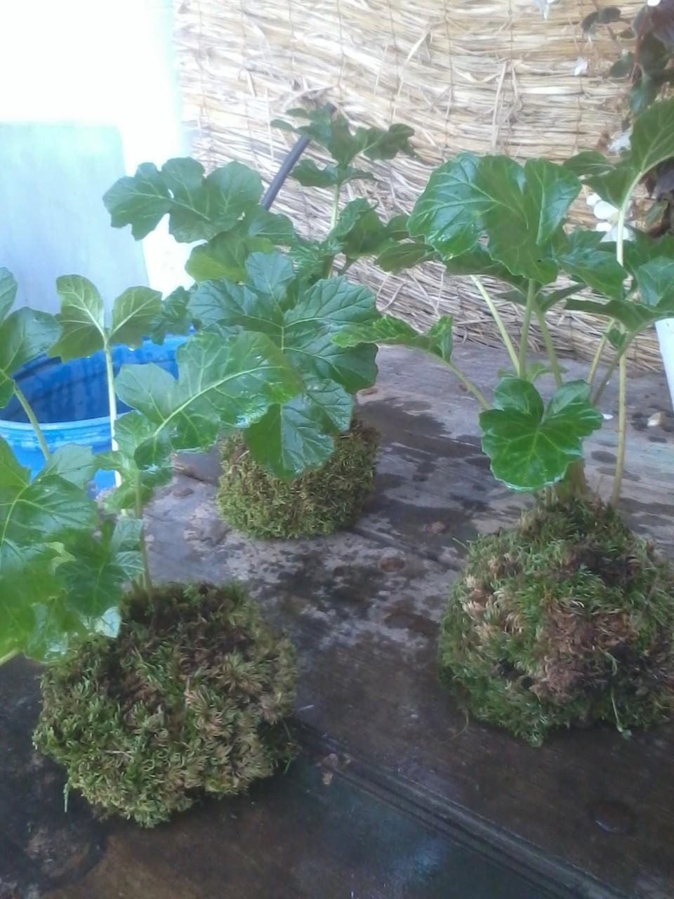 Kokedama Acanto (Acanthus mollis) 3,95 €
