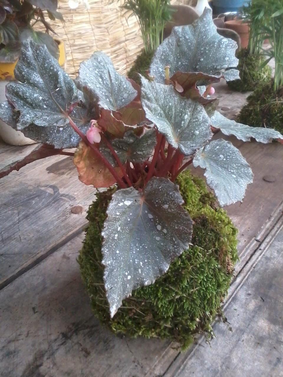 Kokedama Begonia real (Begonia rex)