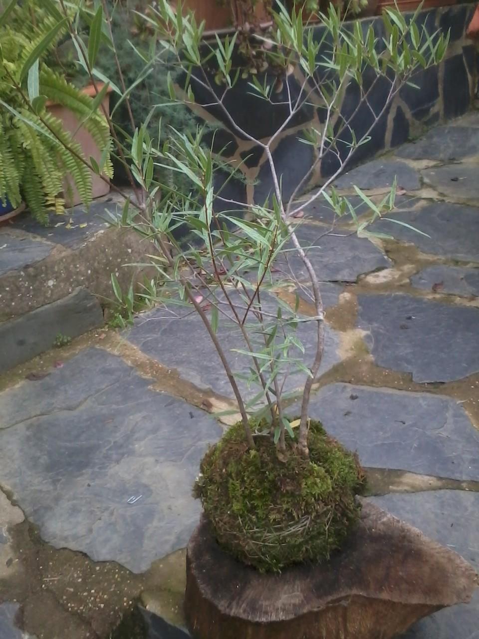 Kokedama Labiérnago (Phillyrea angustifolia)