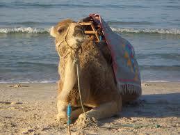 Kamel am tunesischen Strand.