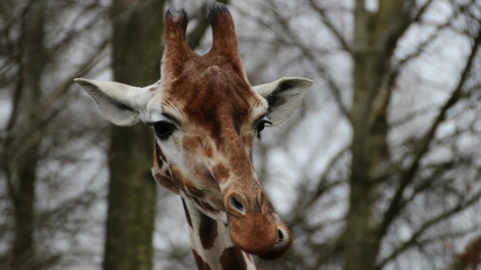 Giraffe im Jaderpark