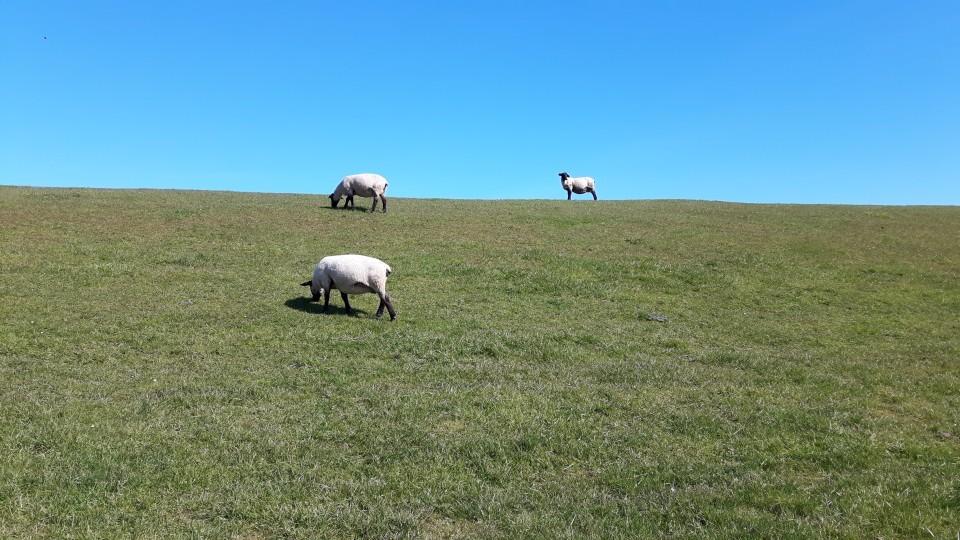 Glückliche Schafe in Dangast auf dem Deich