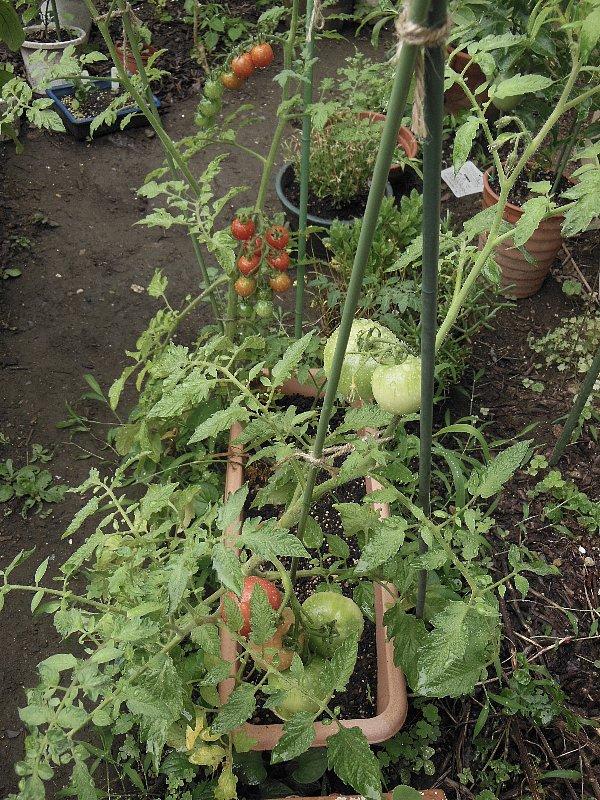 大きいトマトとミニトマトもう収穫できた。皮は固いが味はいいよ。新鮮!!