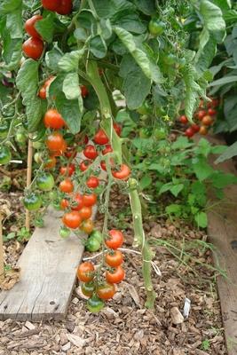 Tomaten ohne Kraut- und Braunfäule ?