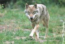 Willkommen Wolf! NABU-Projekt zum Schutz der Wölfe in Deutschland