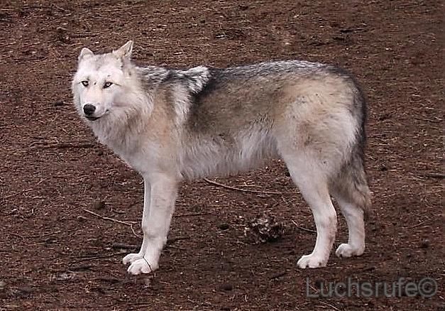 Wolf-Hund Hybrid