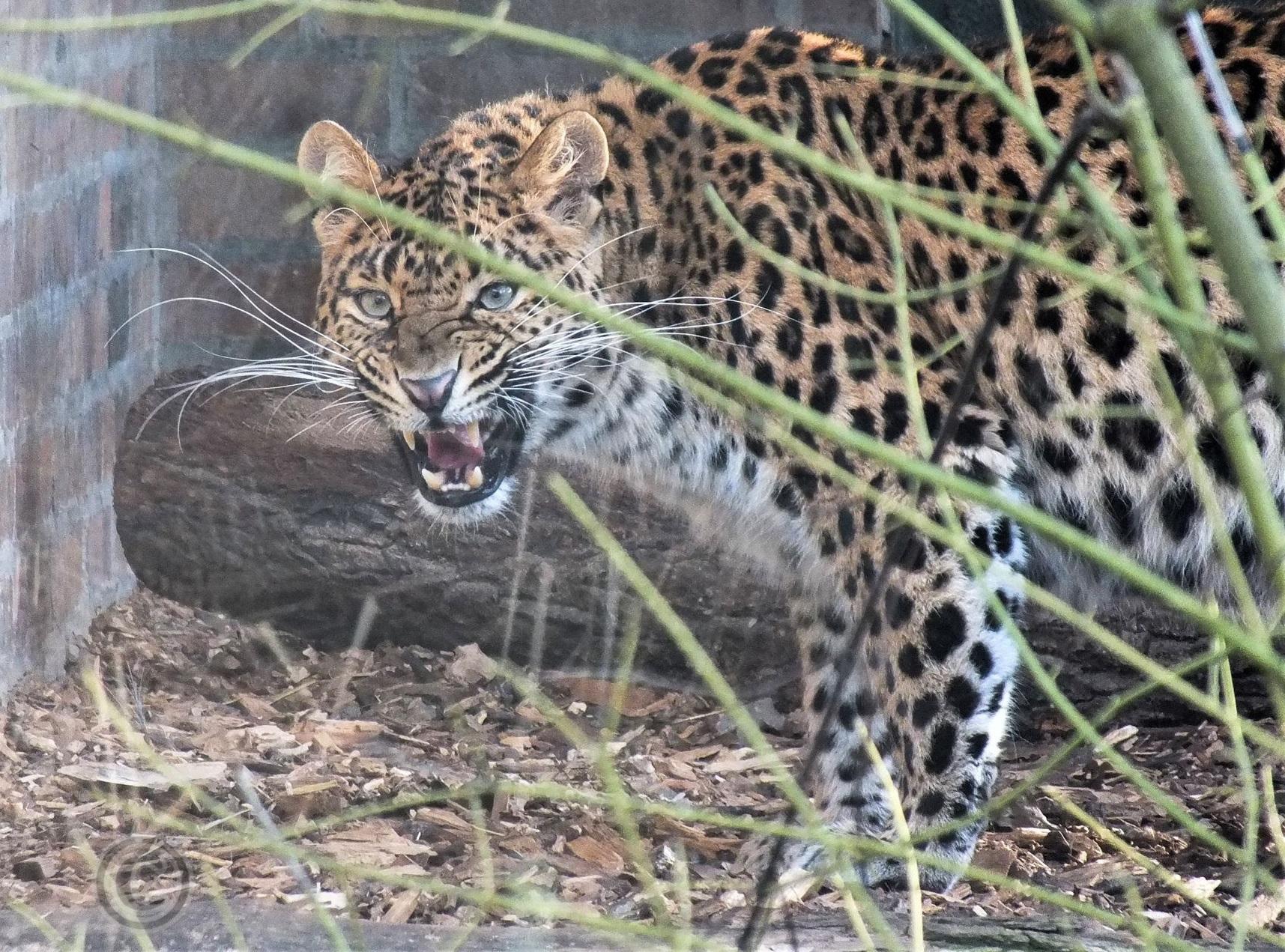 Nachwuchs einer besonders bedrohten Großkatze