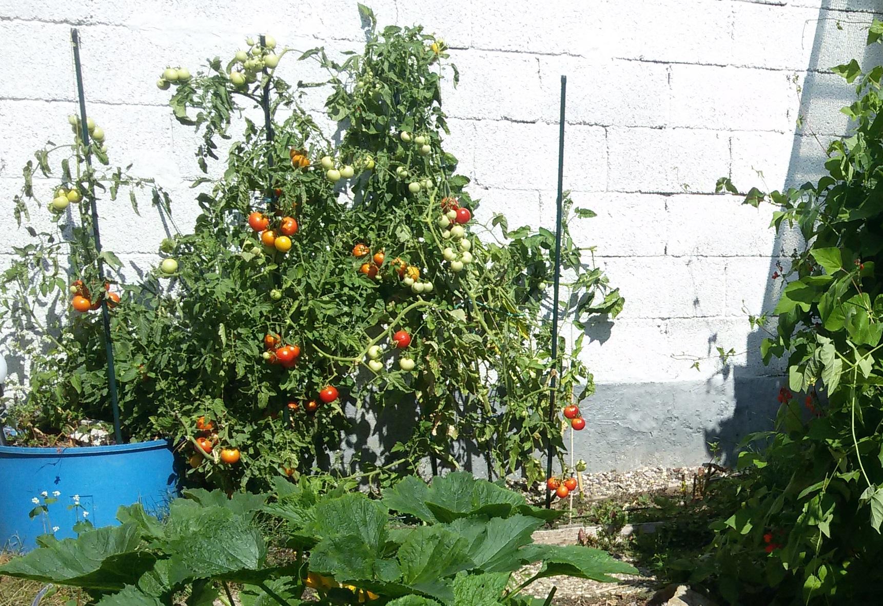 Das Corpus-Delikti: oft haben wir zu viele Tomaten - so braucht es Ideen zur Haltbarkeitmachung