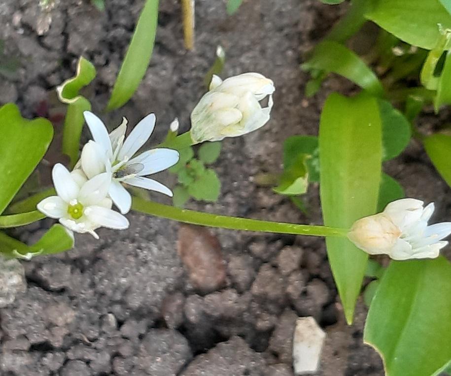 Bärlauchzblüte