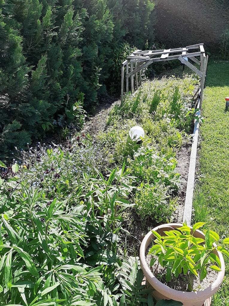 nach ca 4 Wochen: Sonnenverwöhnt gedeiht der Blühstreifen