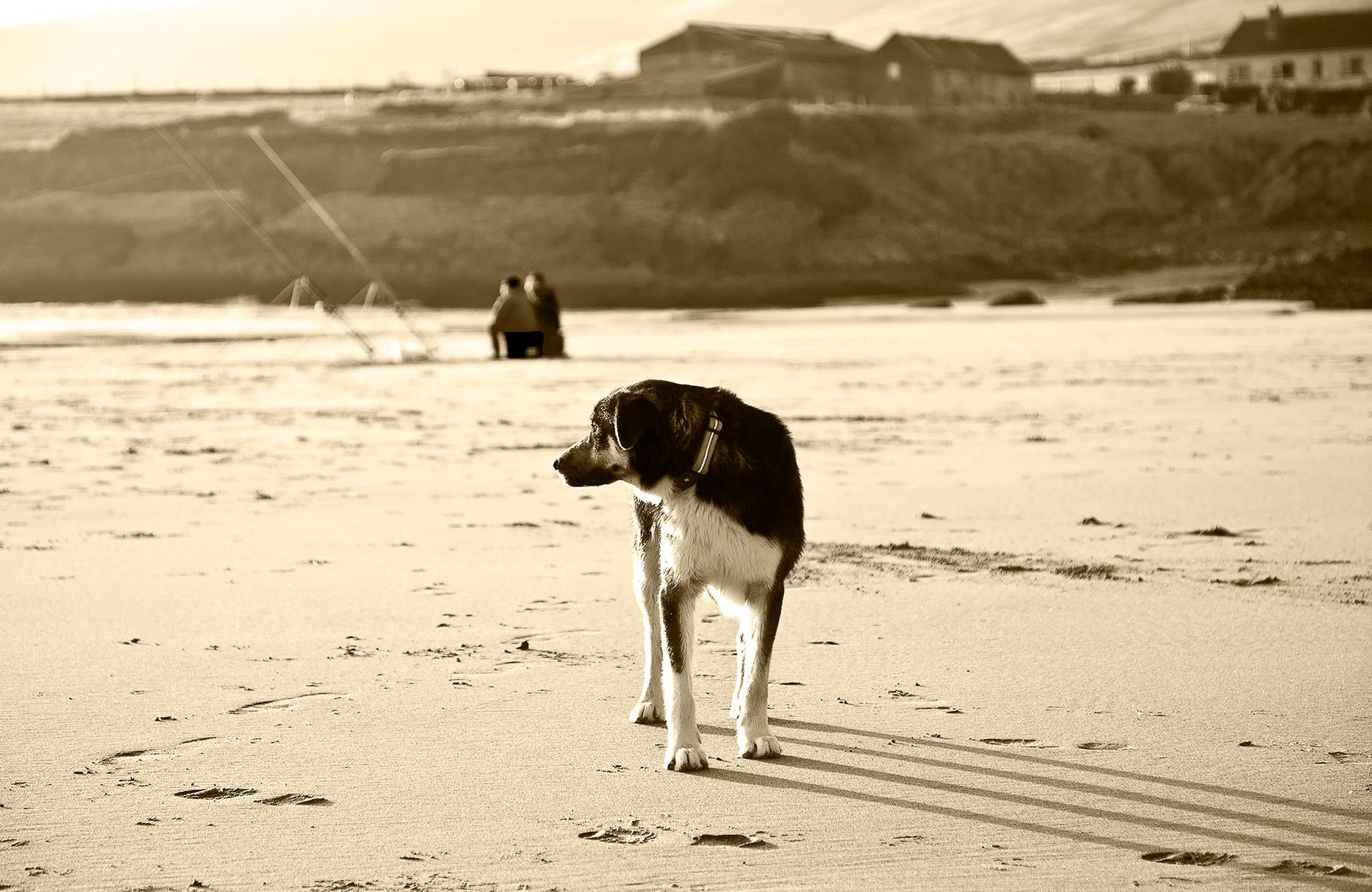 Ringo - Dog at St. Finans bay, Iveragh peninsula, County Kerry
