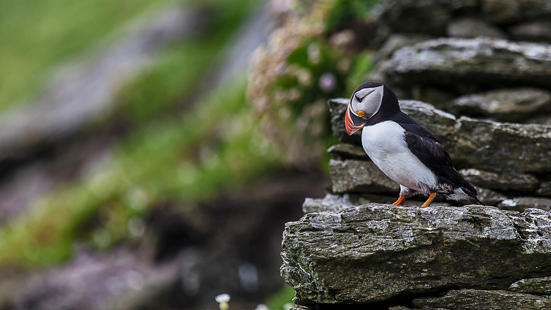 Puffin on Skellig Michael, County Kerry