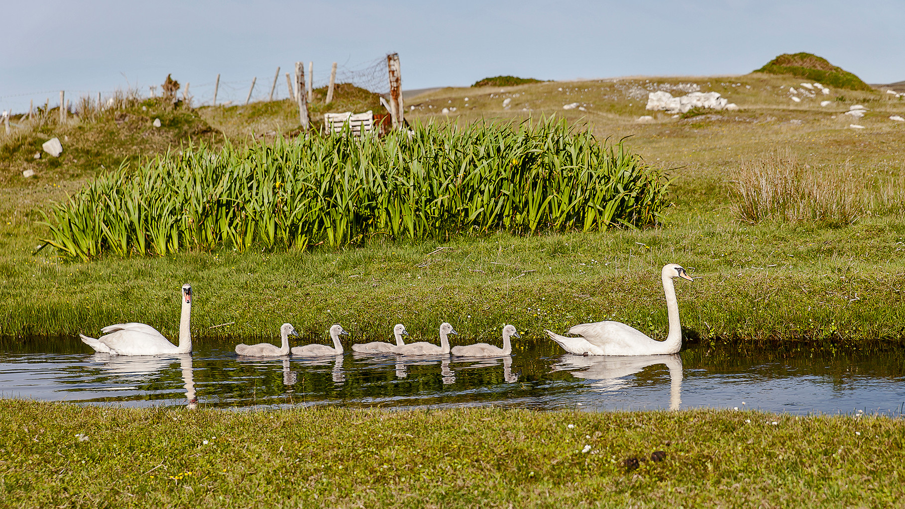 Family trip - A swan family on Achill Island, County Mayo