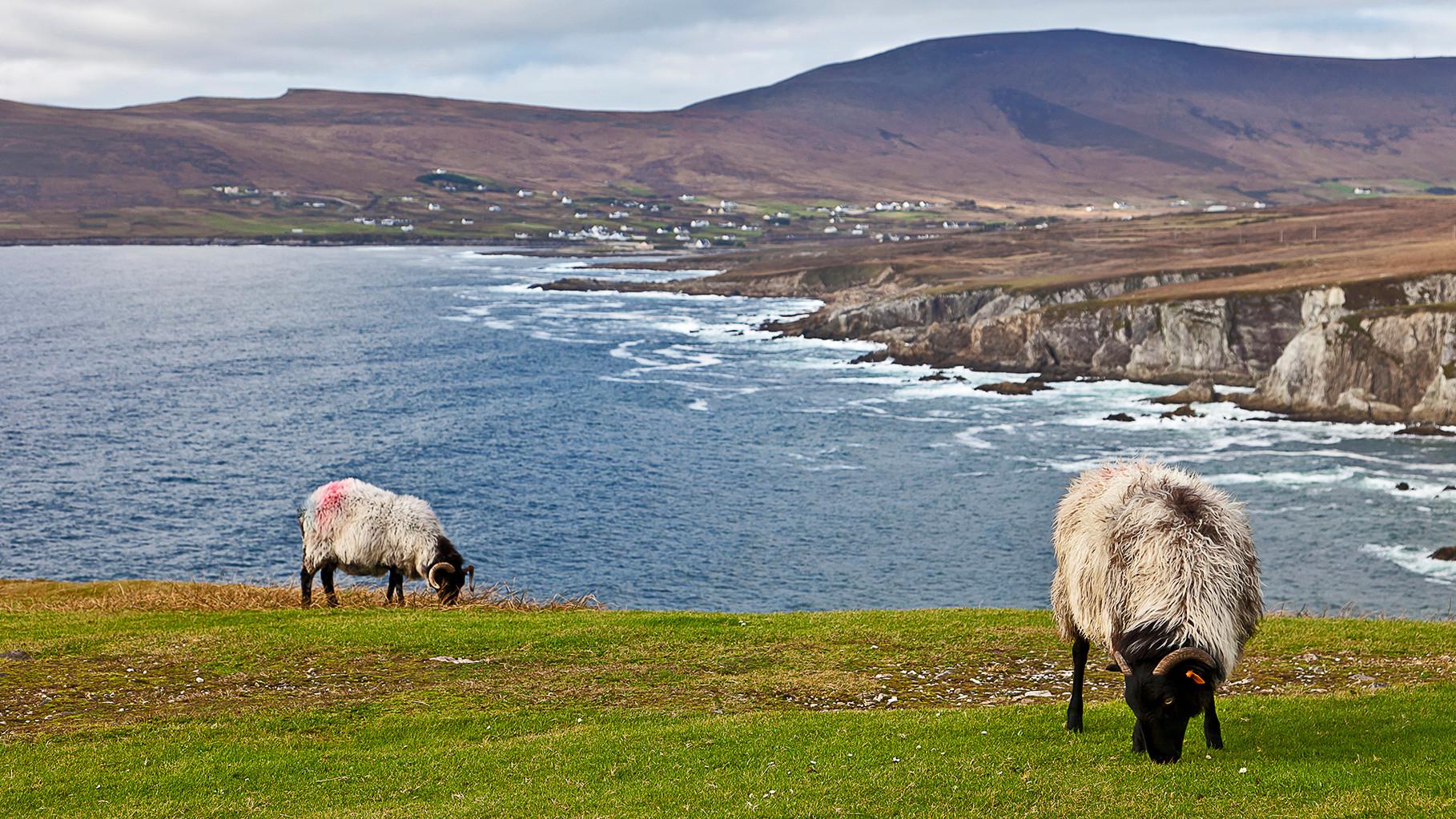 Sheeps at Ashleam bay, Achill Island, County Mayo