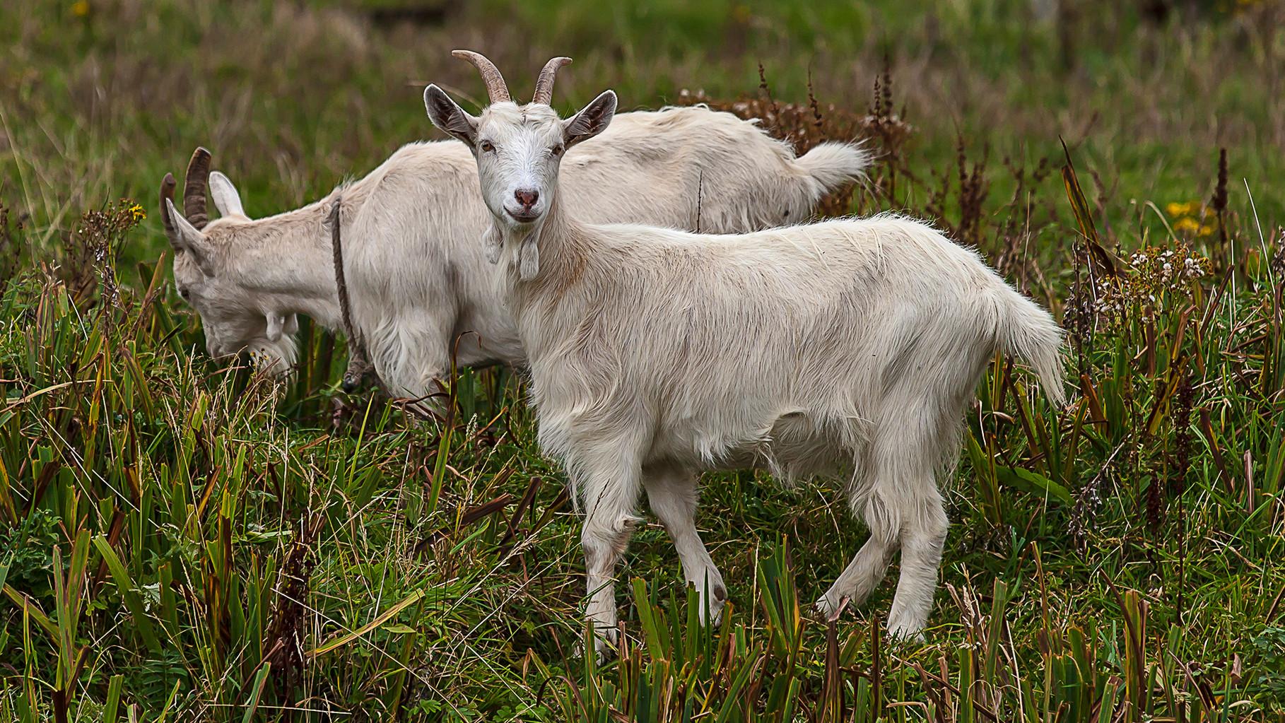 Goats on Achill Island, County Mayo