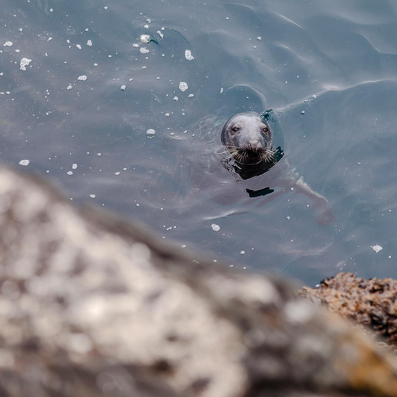Seal at Skellig Michael, County Kerry