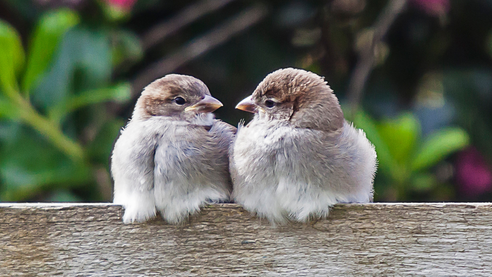 Sisters - sparrows on Achill Island, County Mayo
