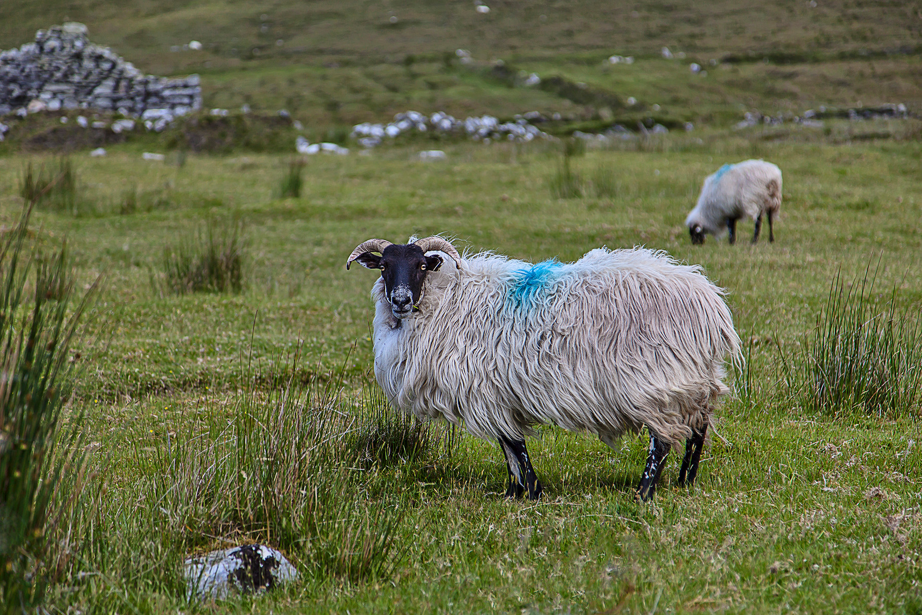 Sheep at the Deserted village on Achill Island, County Mayo