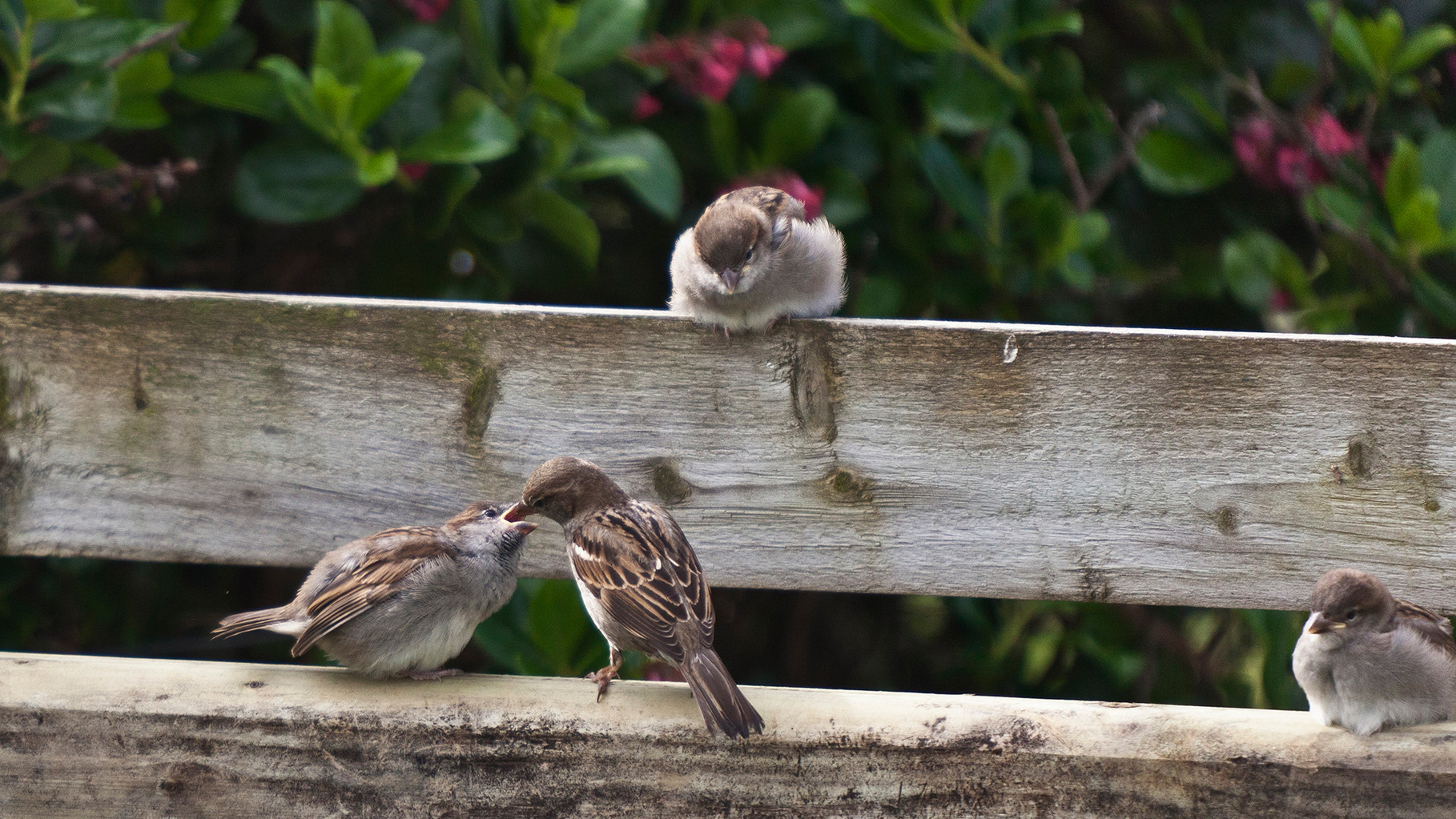 Feeding time - sparrows in Keel, Achill Island, County Mayo