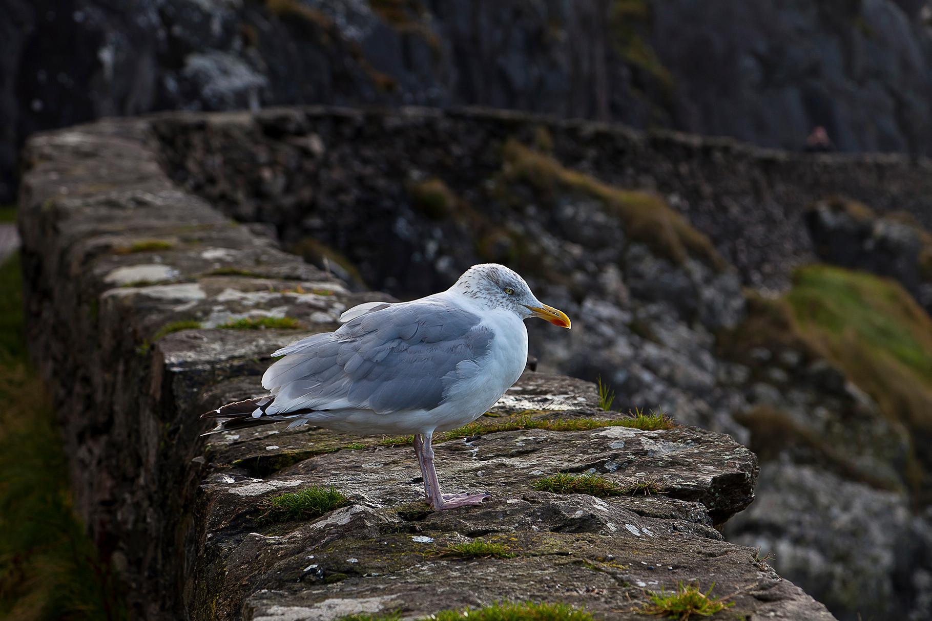 Seagull at the Slea Head drive on Dingle peninsula, County Kerry